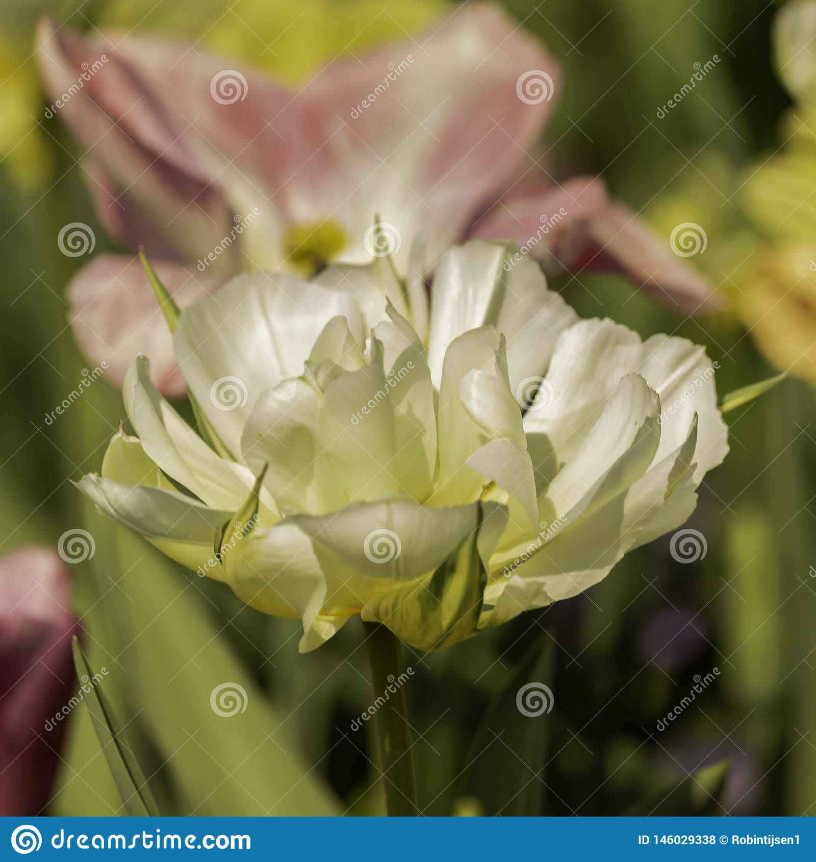 Tulipano bianco con bokeh molle
