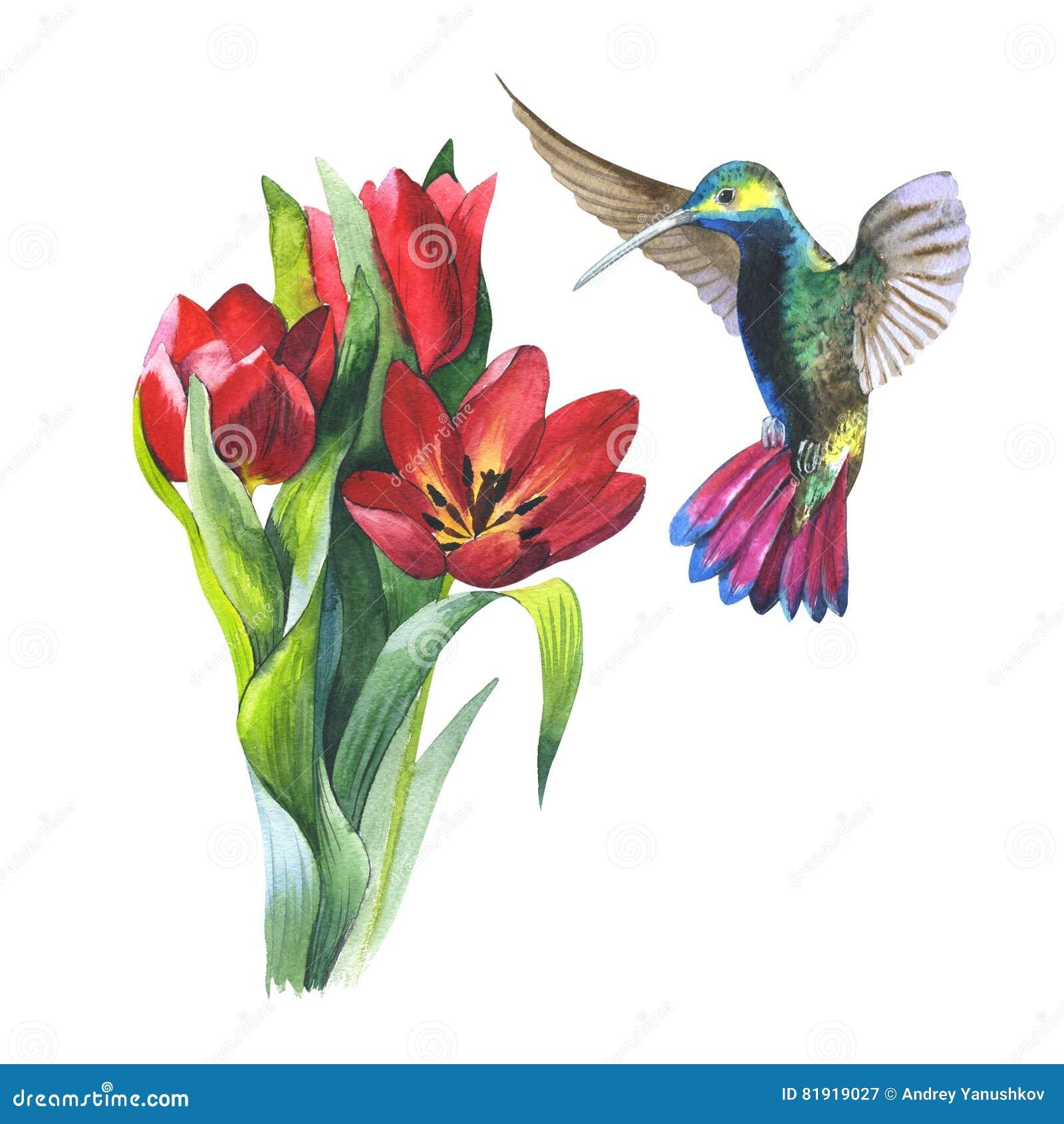 Tulipano del fiore del Wildflower ed uccello di colibri in uno stile dell acquerello isolato