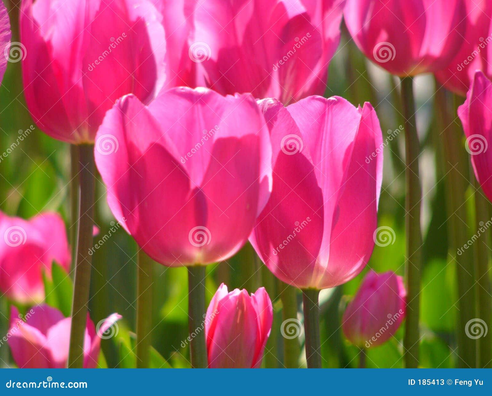 Tulipano dentellare