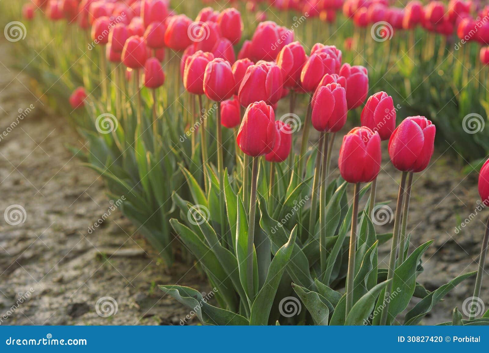 Tulipano di mattina
