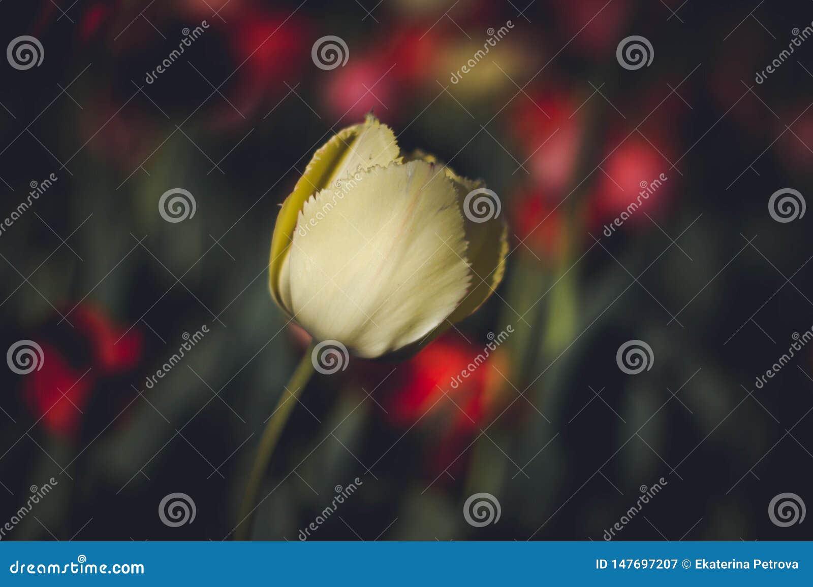 Tulipano giallo su fondo scuro Fine in su Tulipano giallo delicato su un fondo dei fiori Fiori su un fondo scuro
