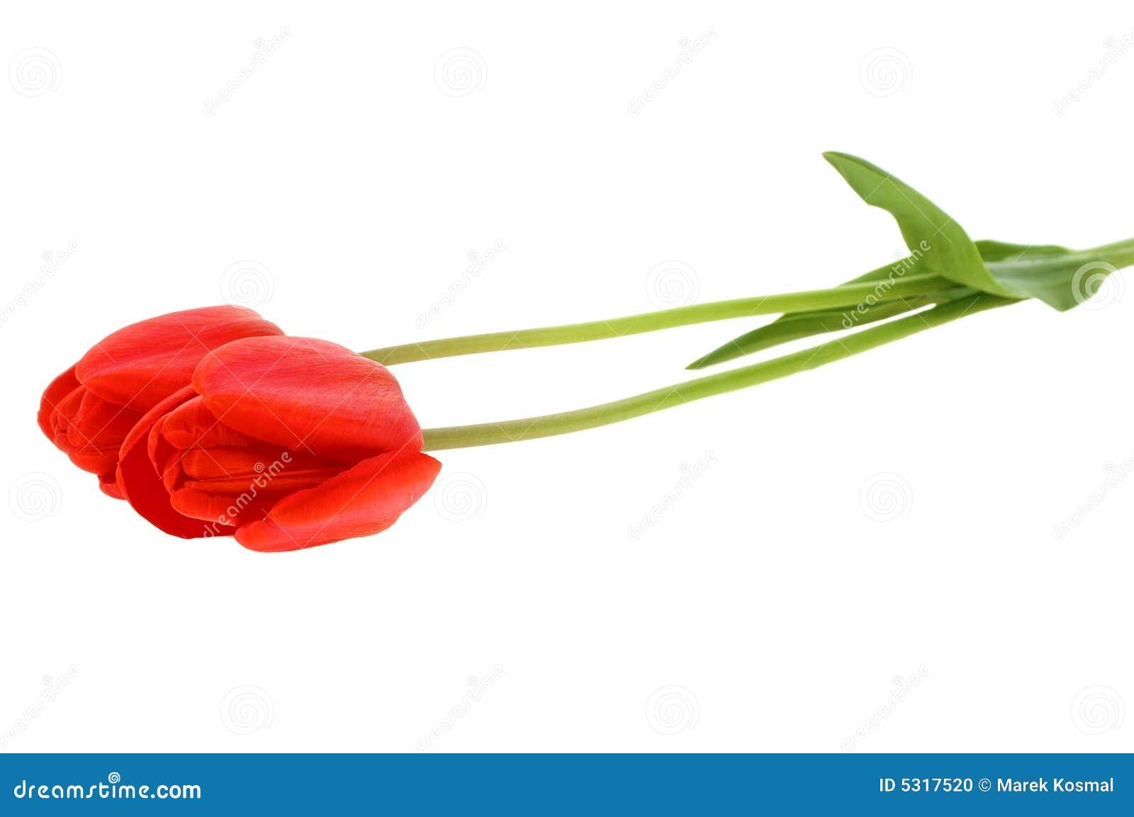 Download Tulipano rosso fotografia stock. Immagine di pianta, tulip - 5317520