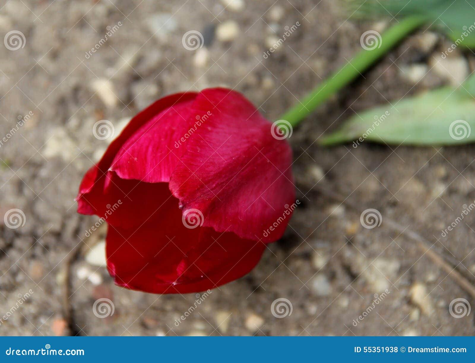 Tulipano rosso