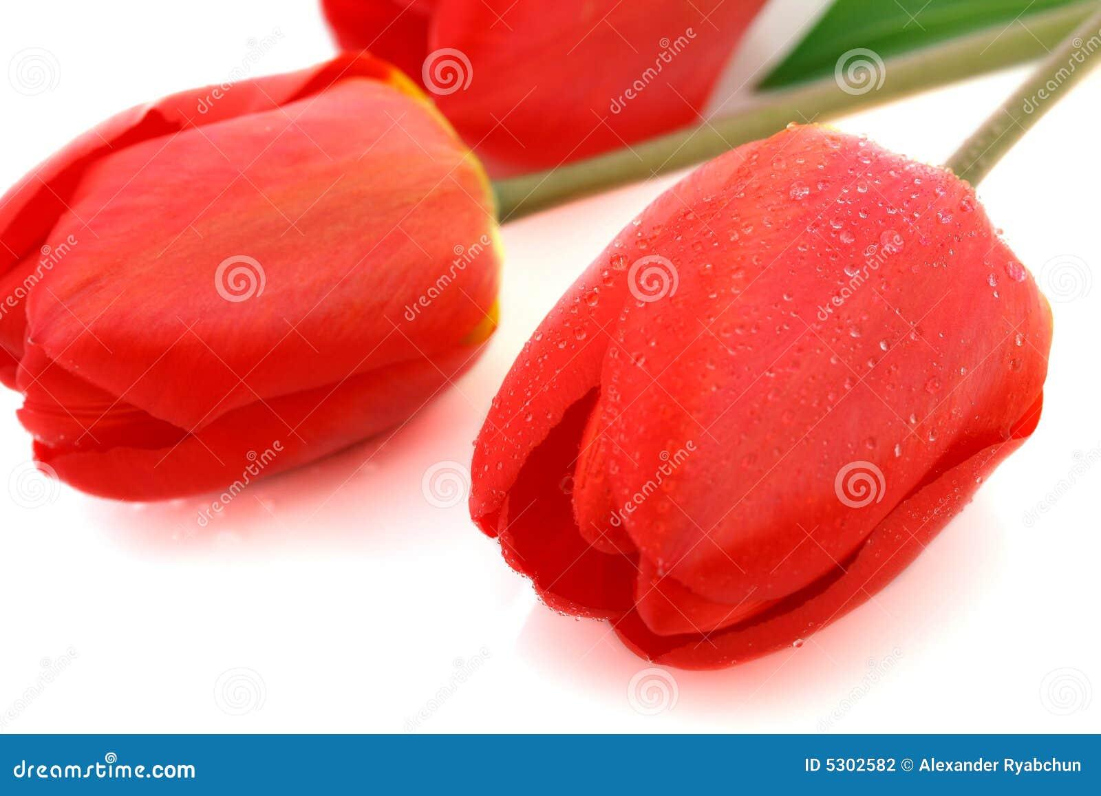 Download Tulipano Rosso Con Le Gocce Di Rugiada Fotografia Stock - Immagine di concetti, romanzesco: 5302582
