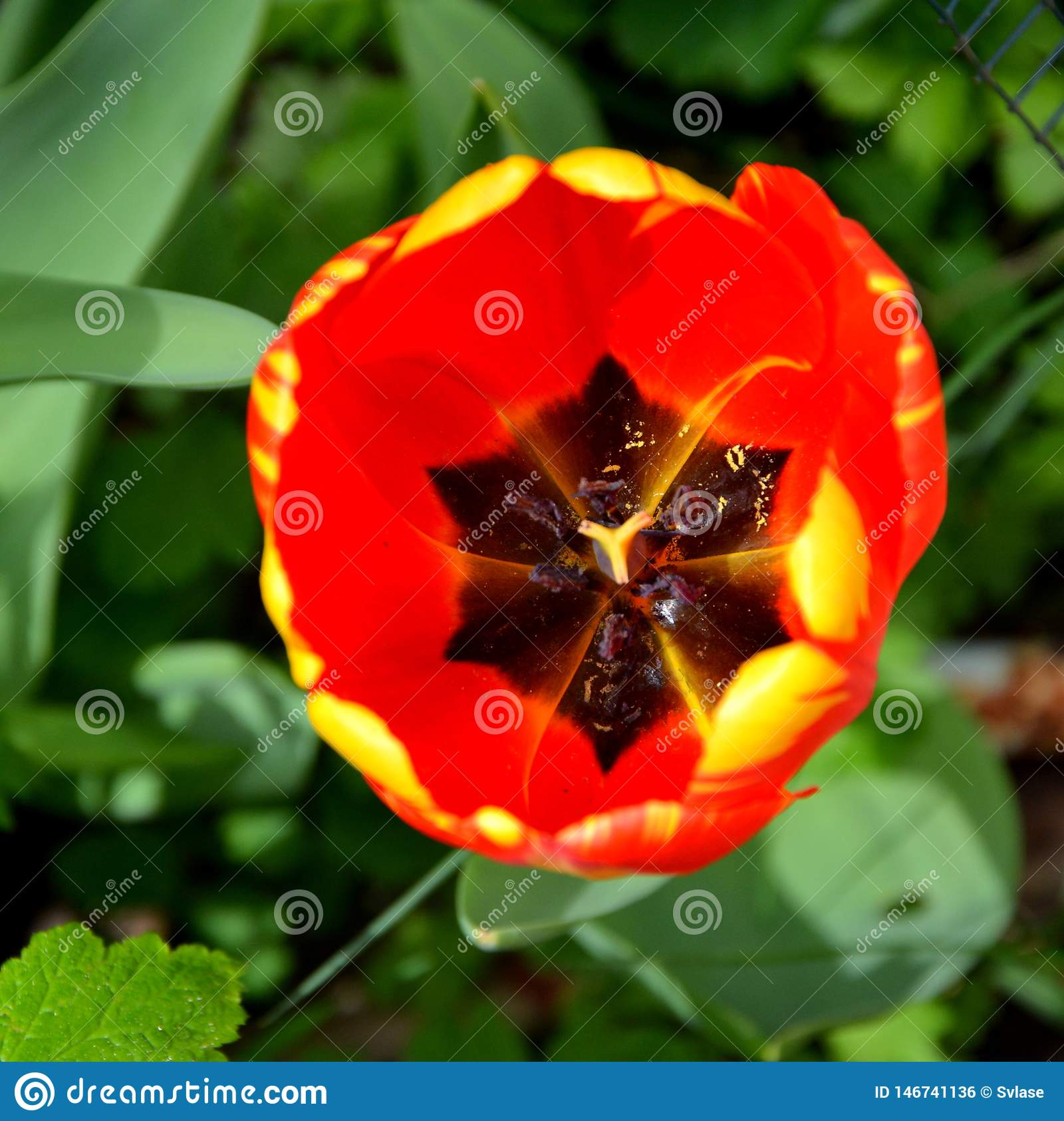 Tulipano rosso Fiori piacevoli nel giardino nella met? dell estate, in un giorno soleggiato