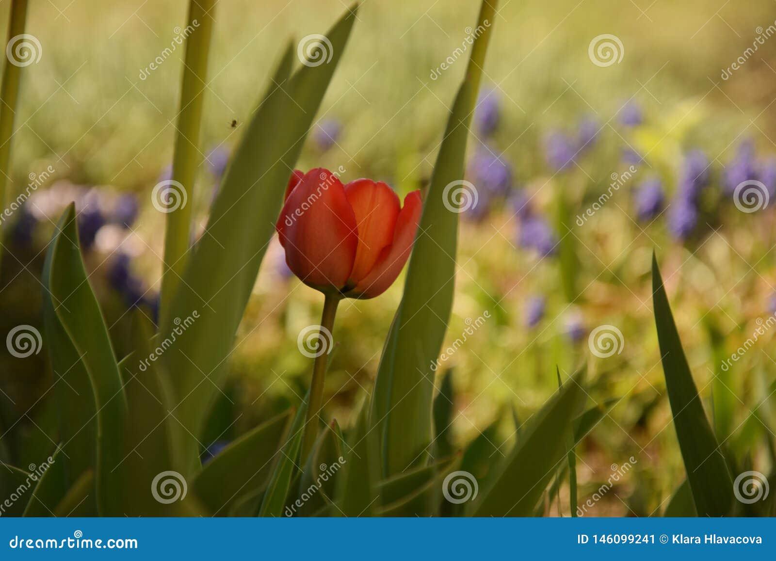 Tulipano rosso fra le foglie