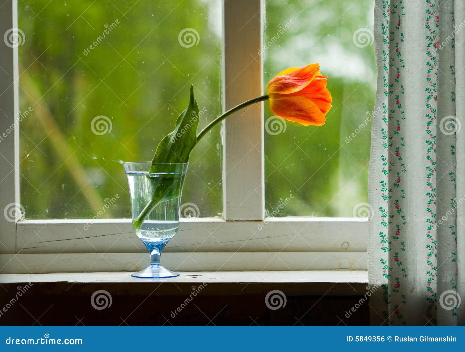 Tulipano sul davanzale della finestra fotografia stock immagine 5849356 - Davanzale finestra interno ...