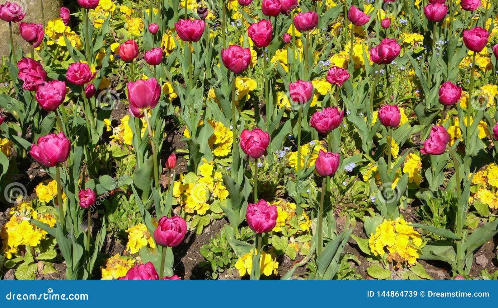 Tulipanowego łóżka Luksemburg ogródy