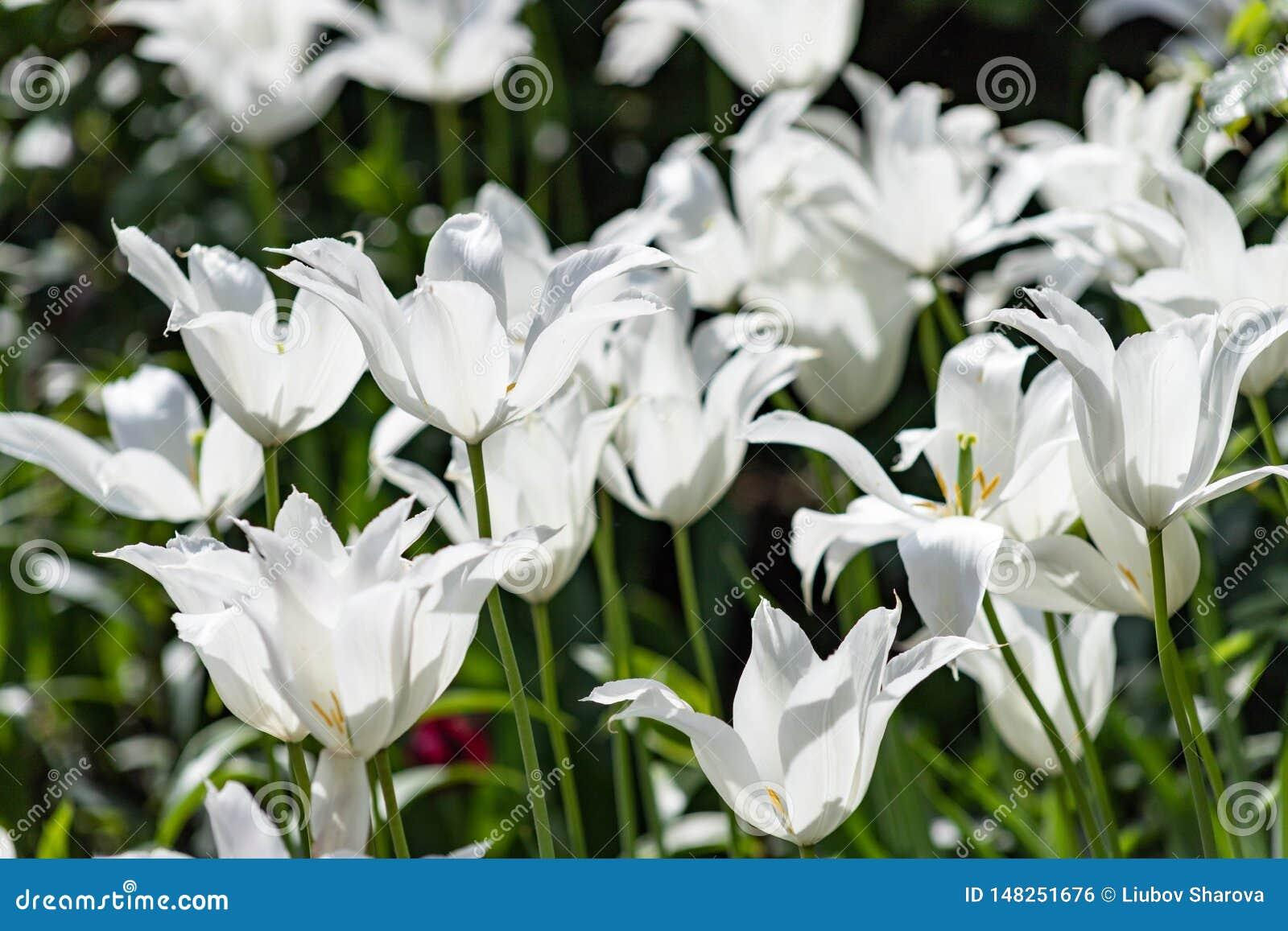 Tulipanowi p?atki przed?u?y? w d?ugich ?uki Leluja kwiatono?ny tulipan