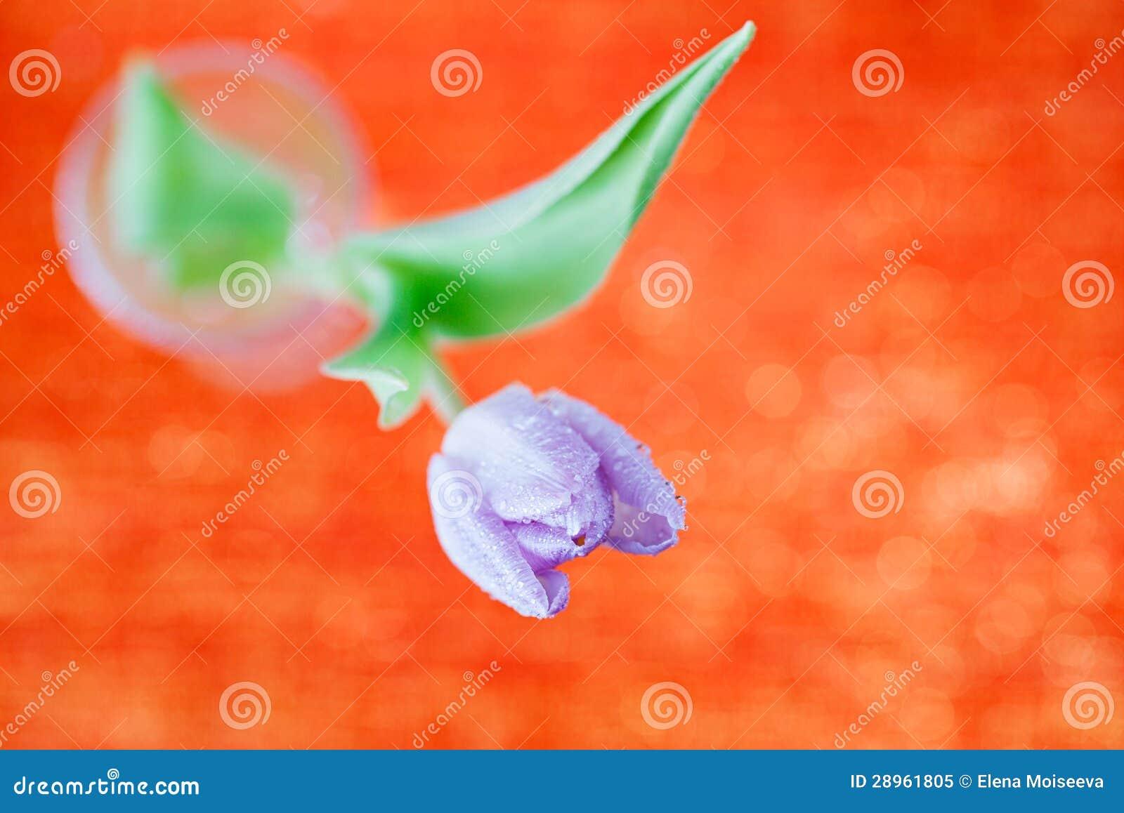 Tulipanowy wiosna kwiat na czerwieni i błyskotliwości