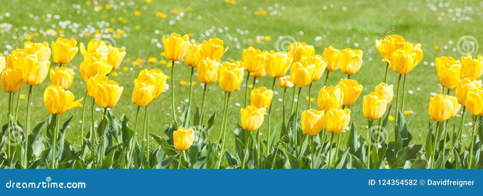 Tulipanu ogrodowy kolor żółty