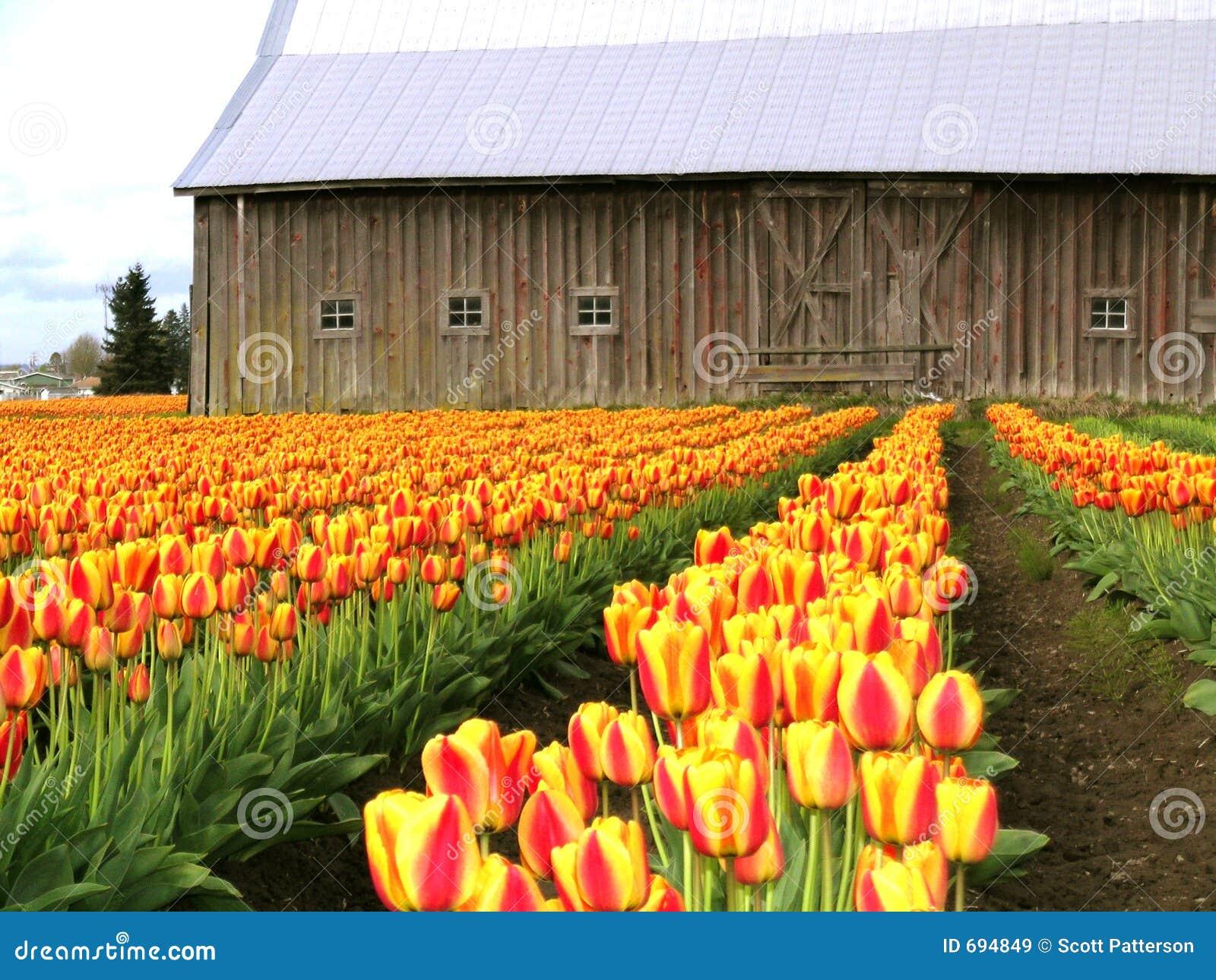 Tulipany barn