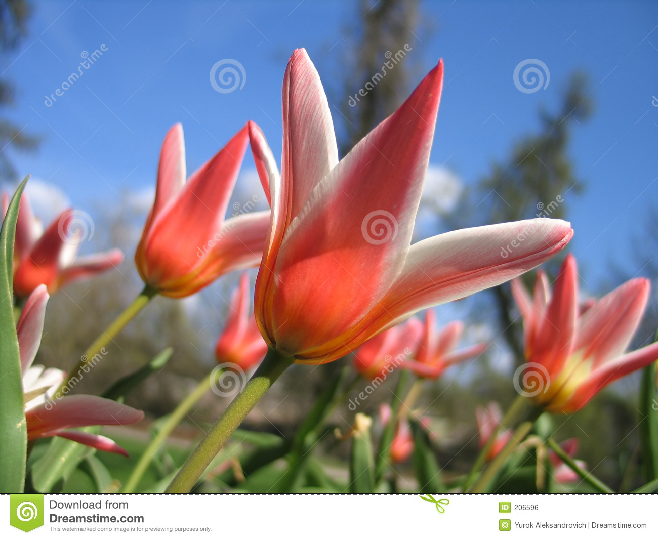 Tulipany bloom