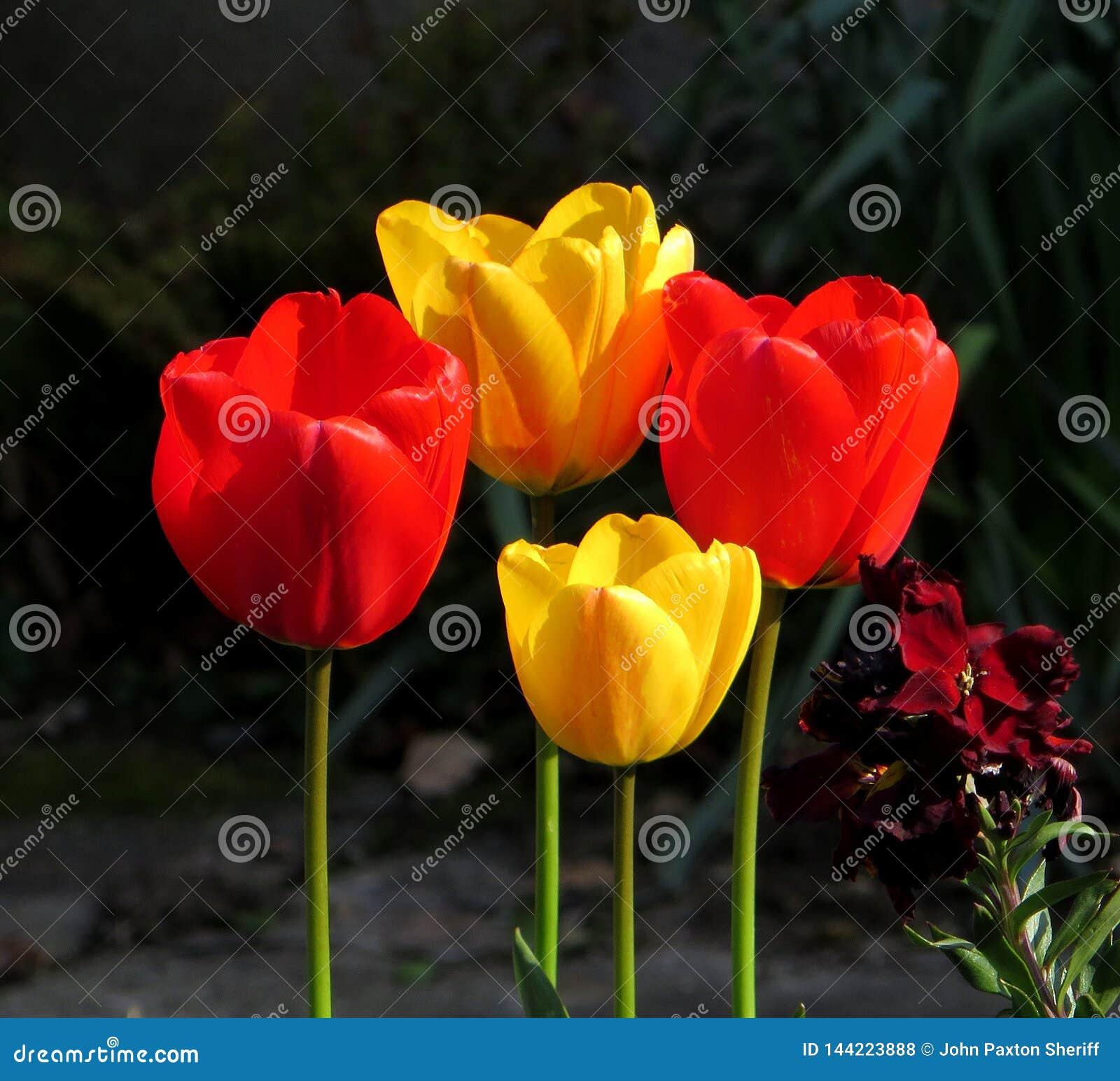 Tulipany czerwień i kolor żółty piękni, zjeżony, w jaskrawym świetle słonecznym