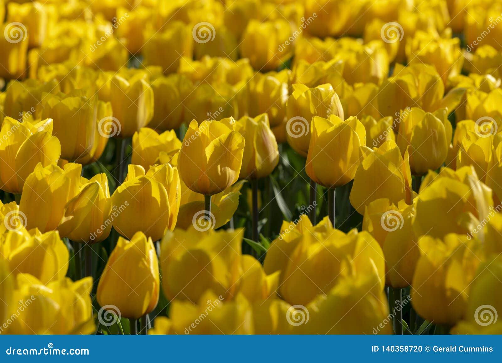 Tulipany kwitną, zielny palnt bloomin w wiośnie