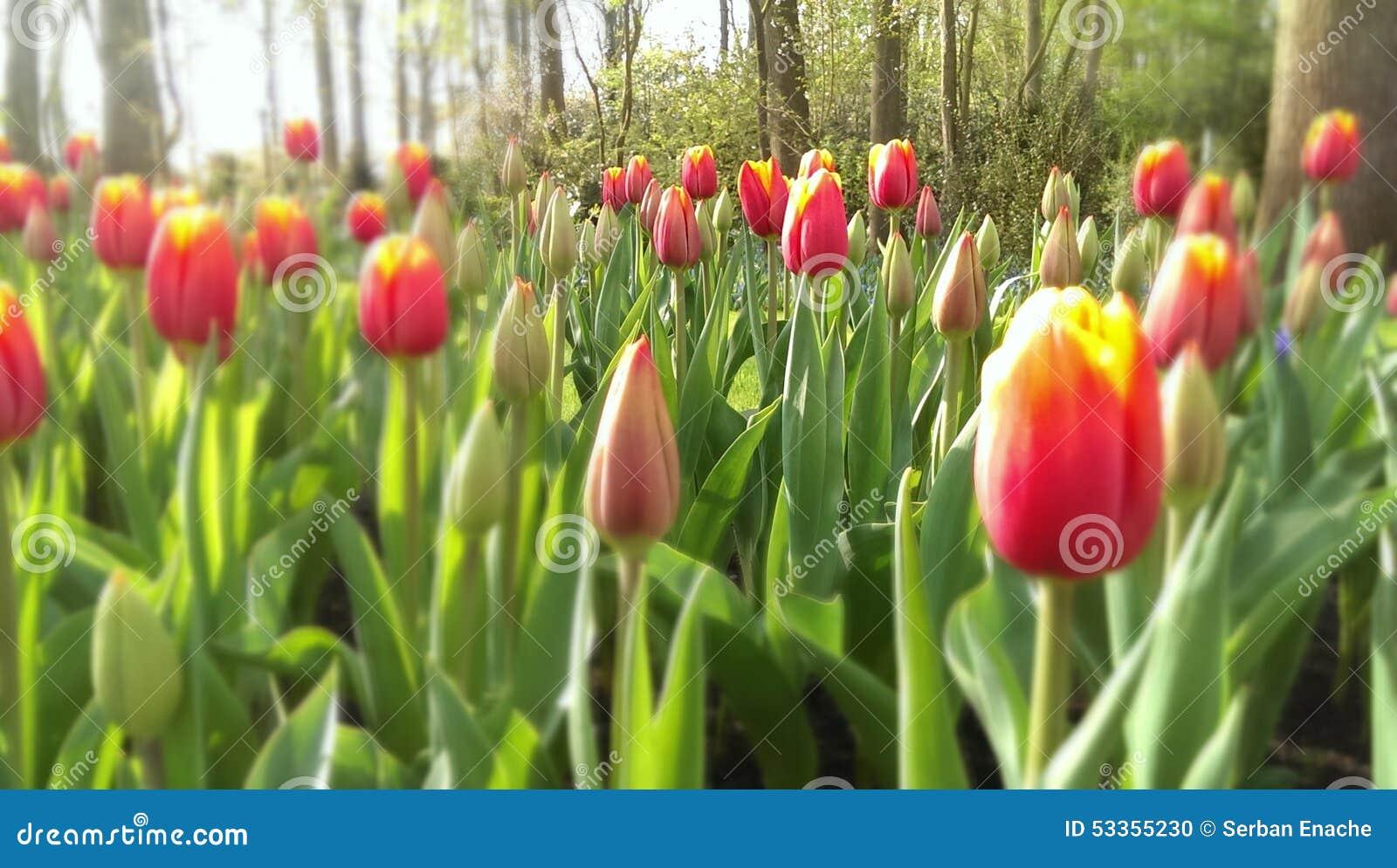 Tulipany na żółte