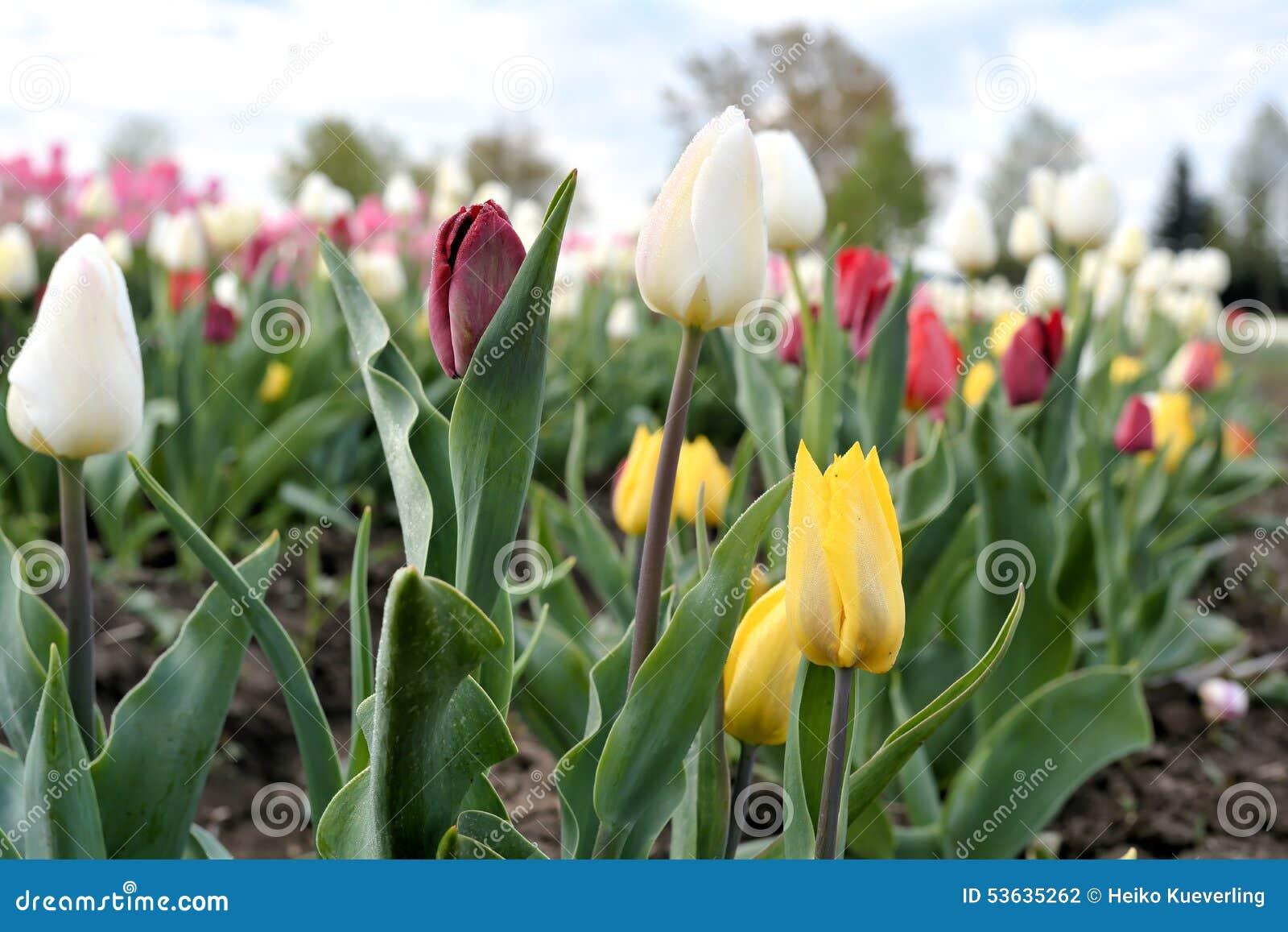 Tulipany na tulipanu polu