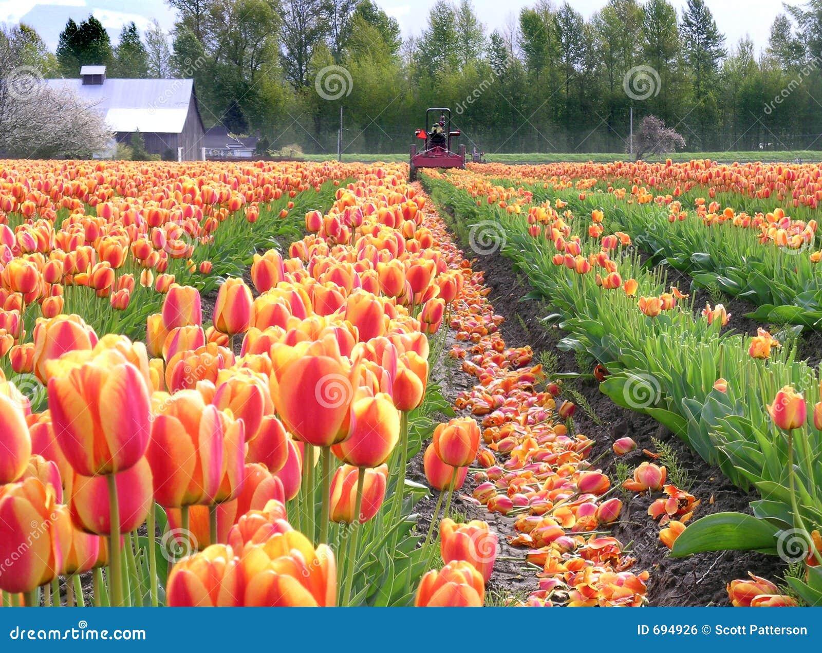 Tulipany polewa