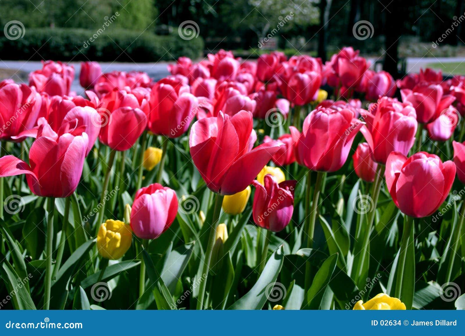 Tulipany powitań kwiatów