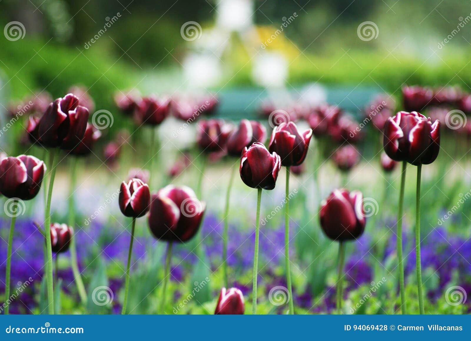Tulipany purpurowych