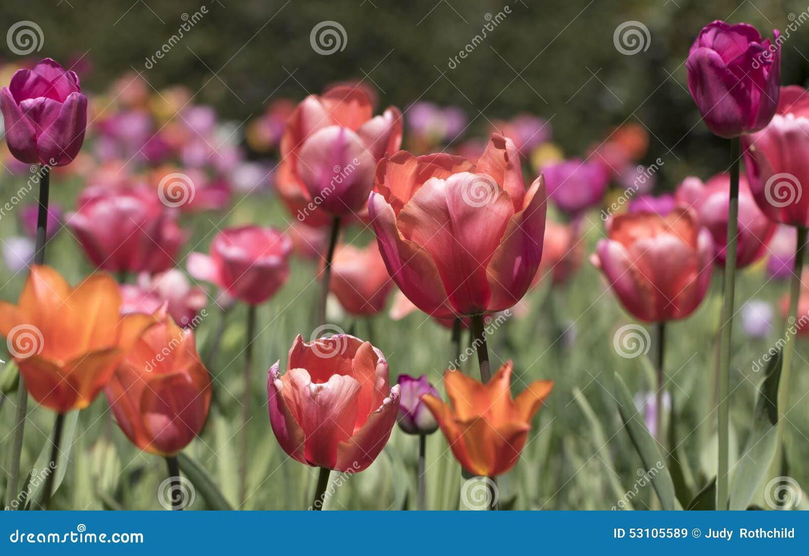 Tulipany wielo- tulipany