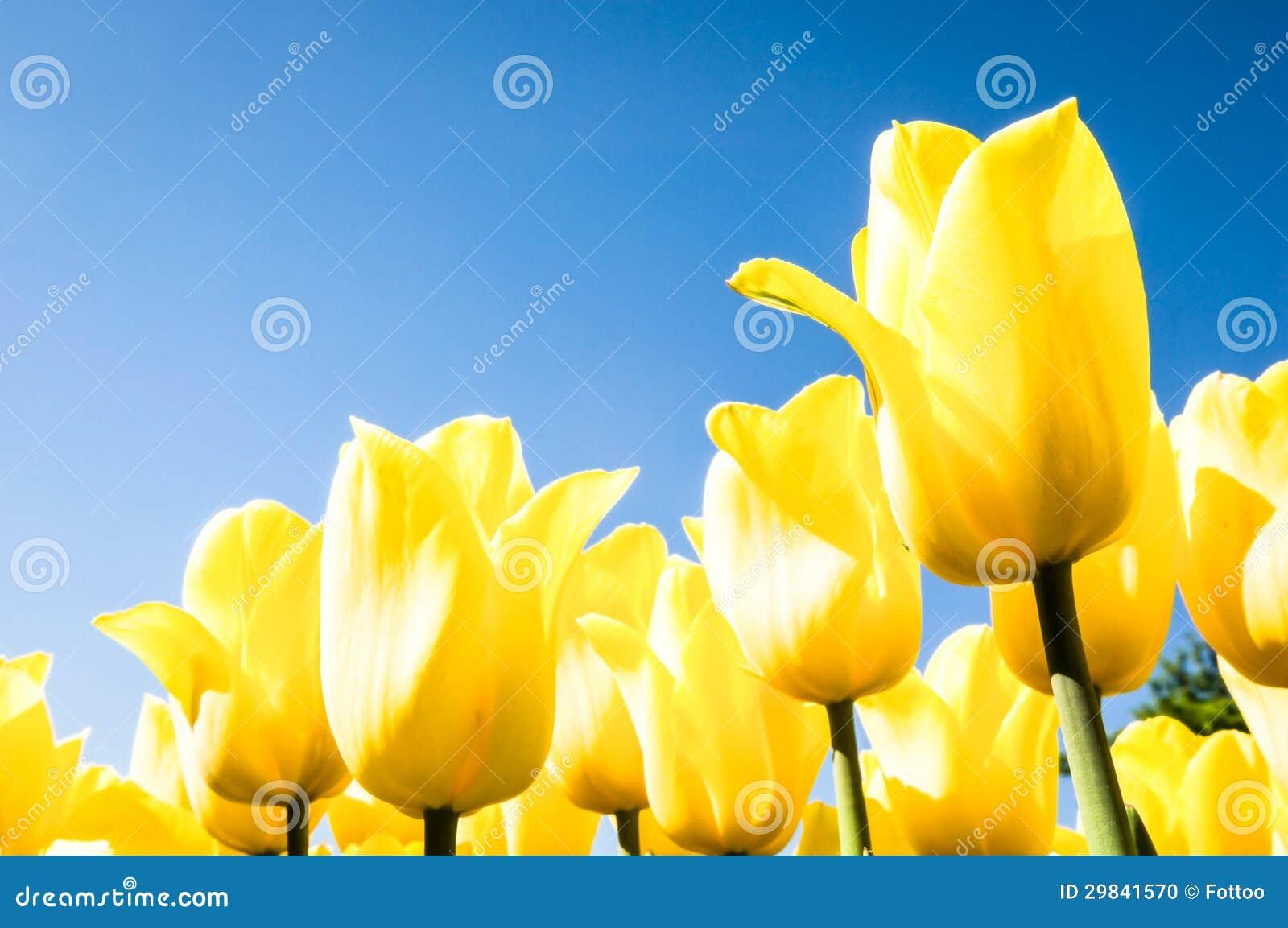 Tulipas - tulipa