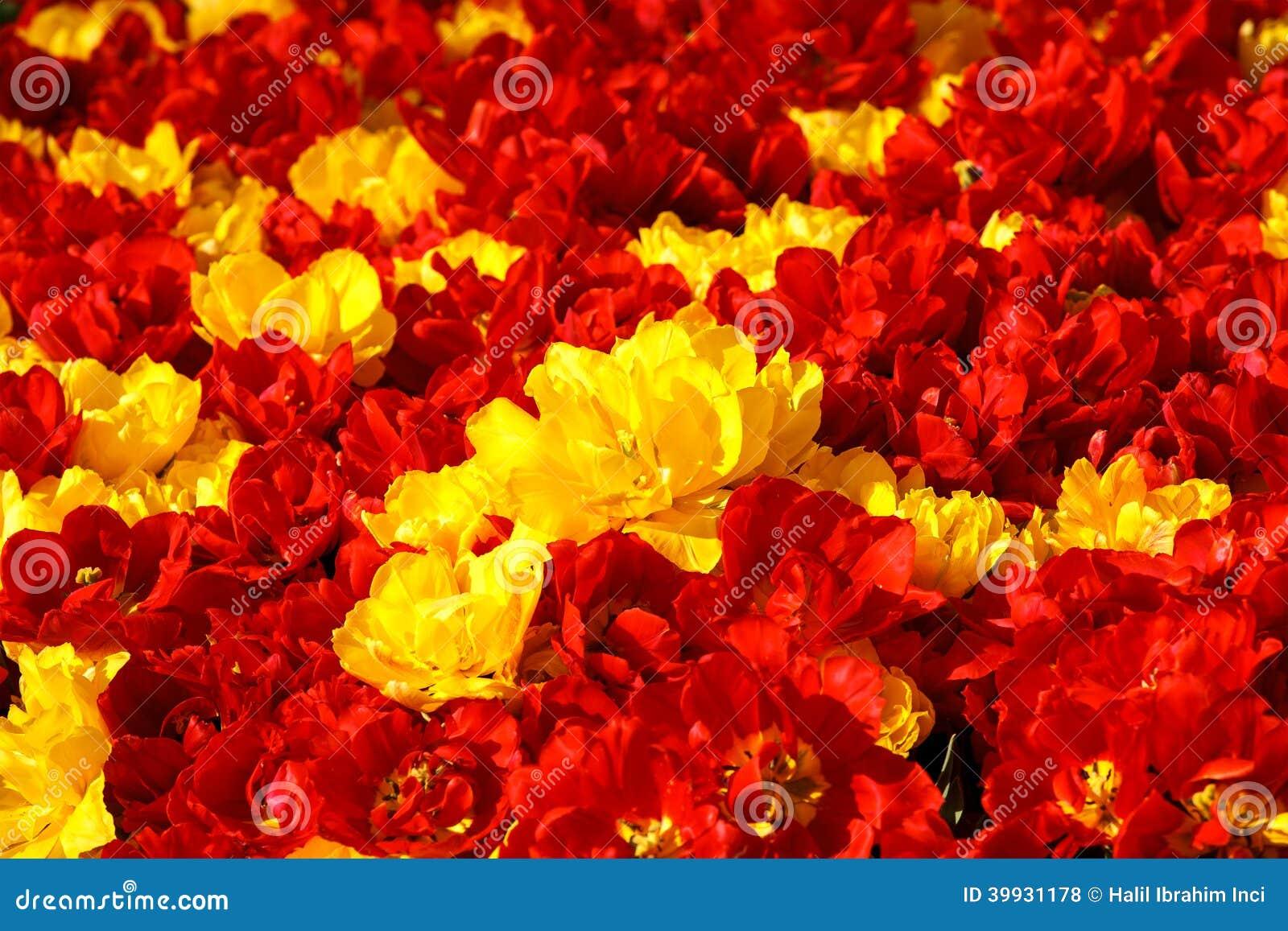 6a0a5ac9b Tulipas amarelas vermelhas foto de stock. Imagem de misturado - 39931178