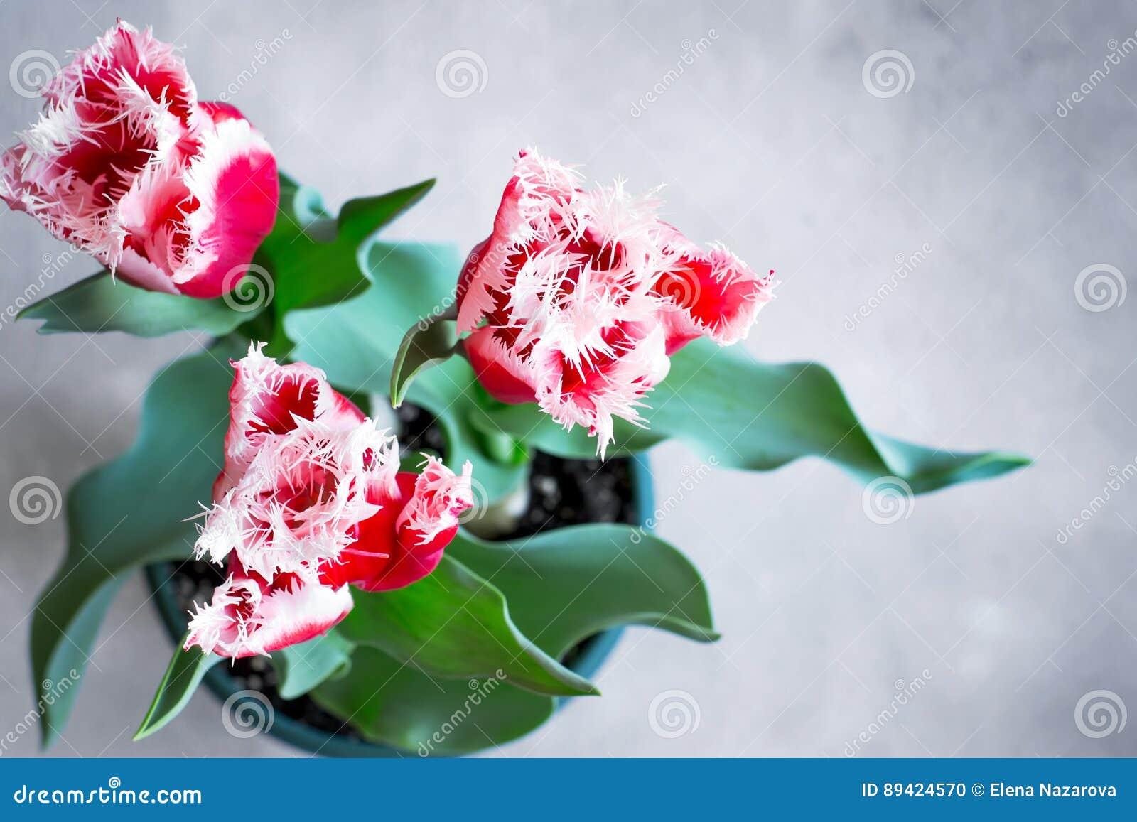 Tulipas bonitas de terry crescidas em casa em um potenciômetro Vista superior com bobina
