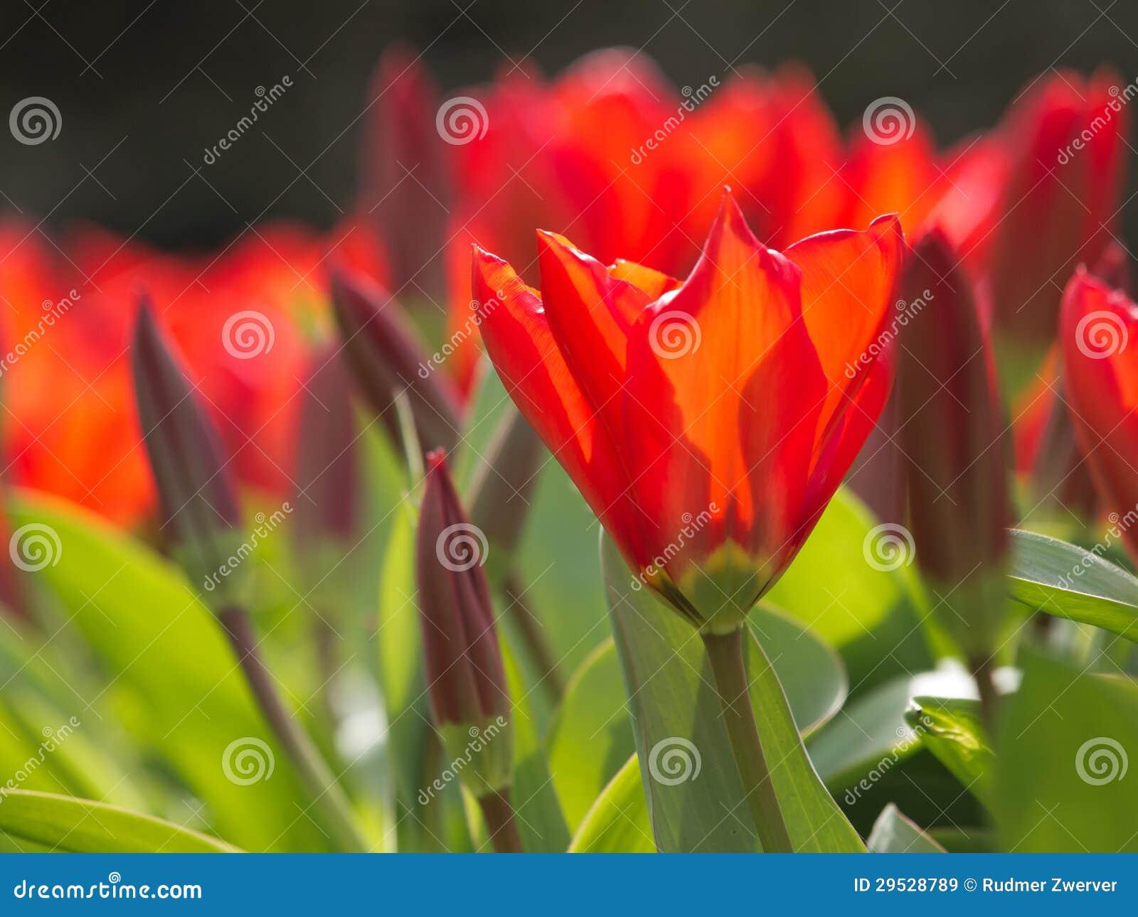 Tulipas de florescência