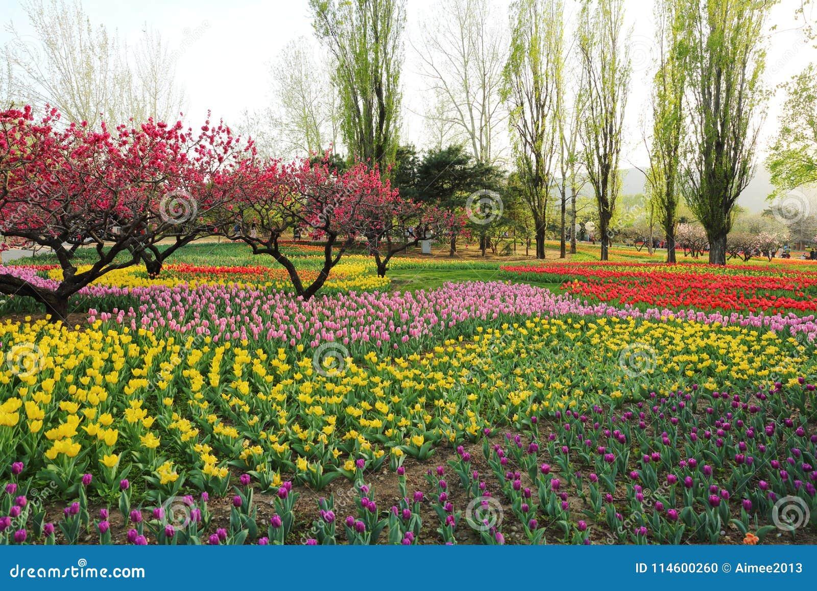 Tulipas e flores do pêssego na mola do jardim