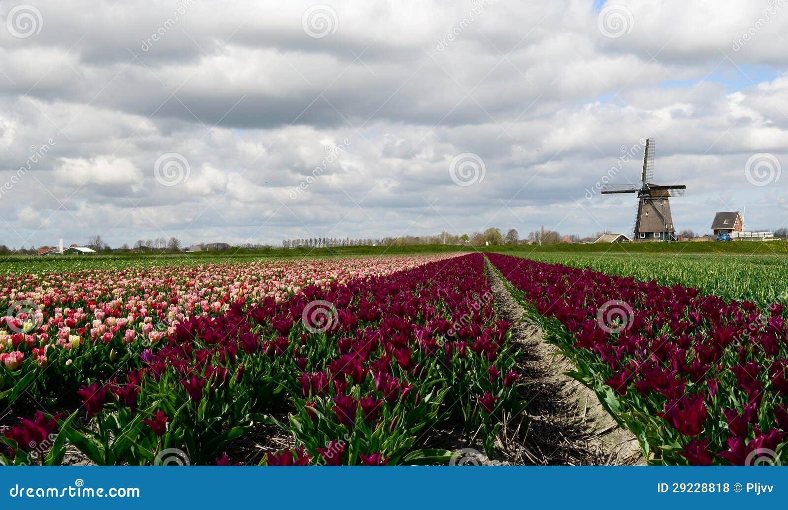 Download Tulipas E Um Moinho De Vento Em Holland Foto de Stock - Imagem de nave, jardim: 29228818
