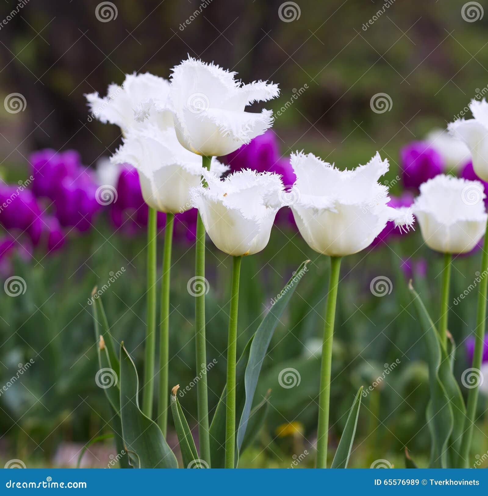 Tulipas franjadas branco