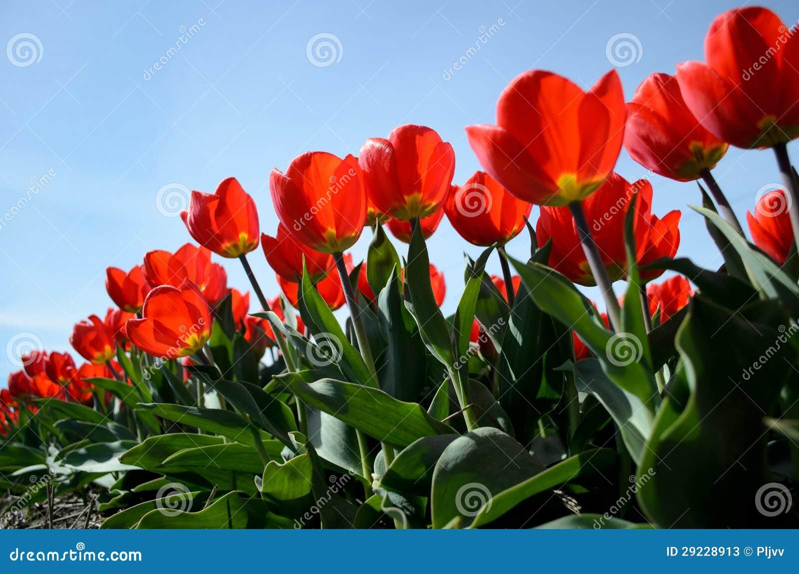 Download Tulipas vermelhas imagem de stock. Imagem de flores, holland - 29228913