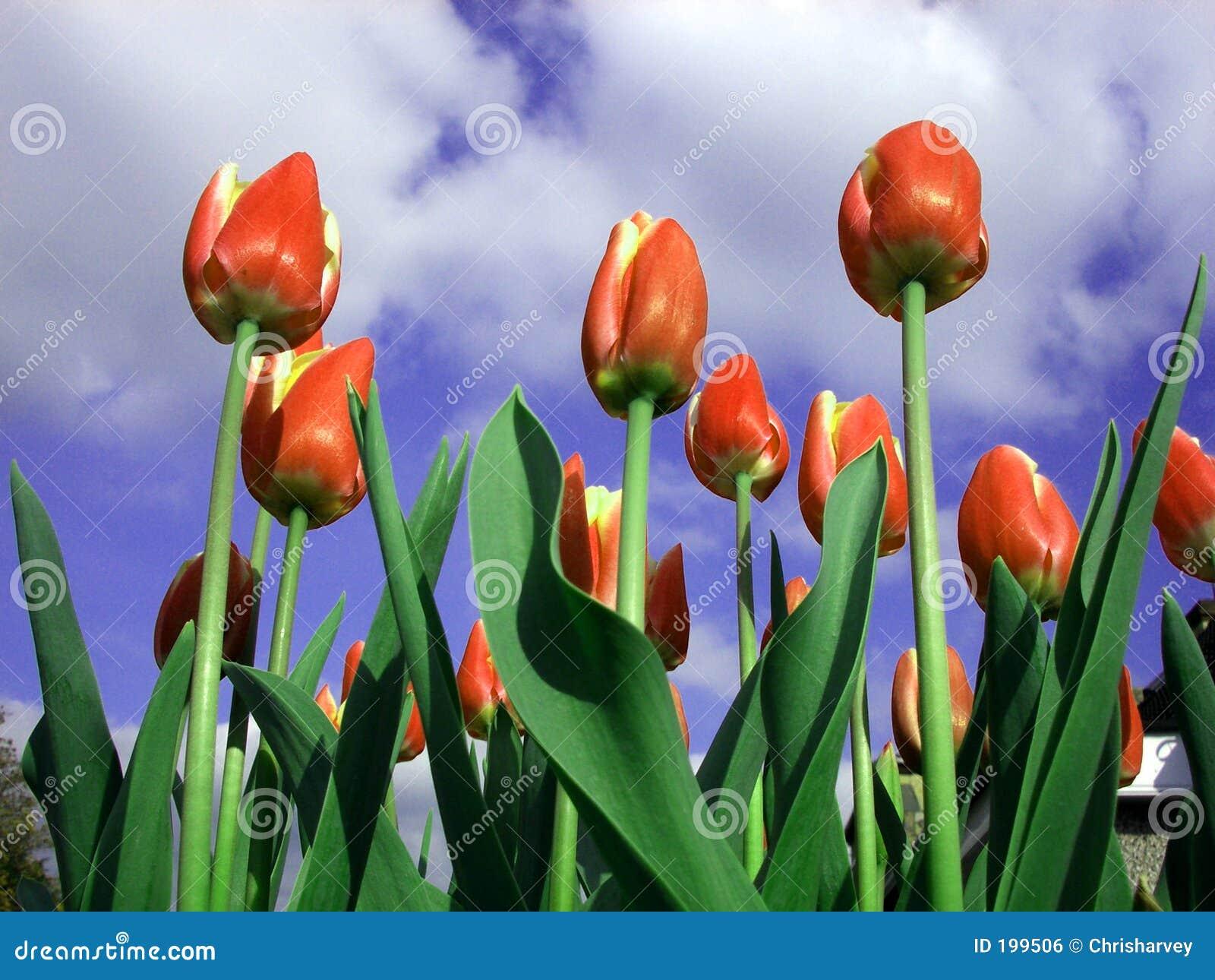 Tulipe 10