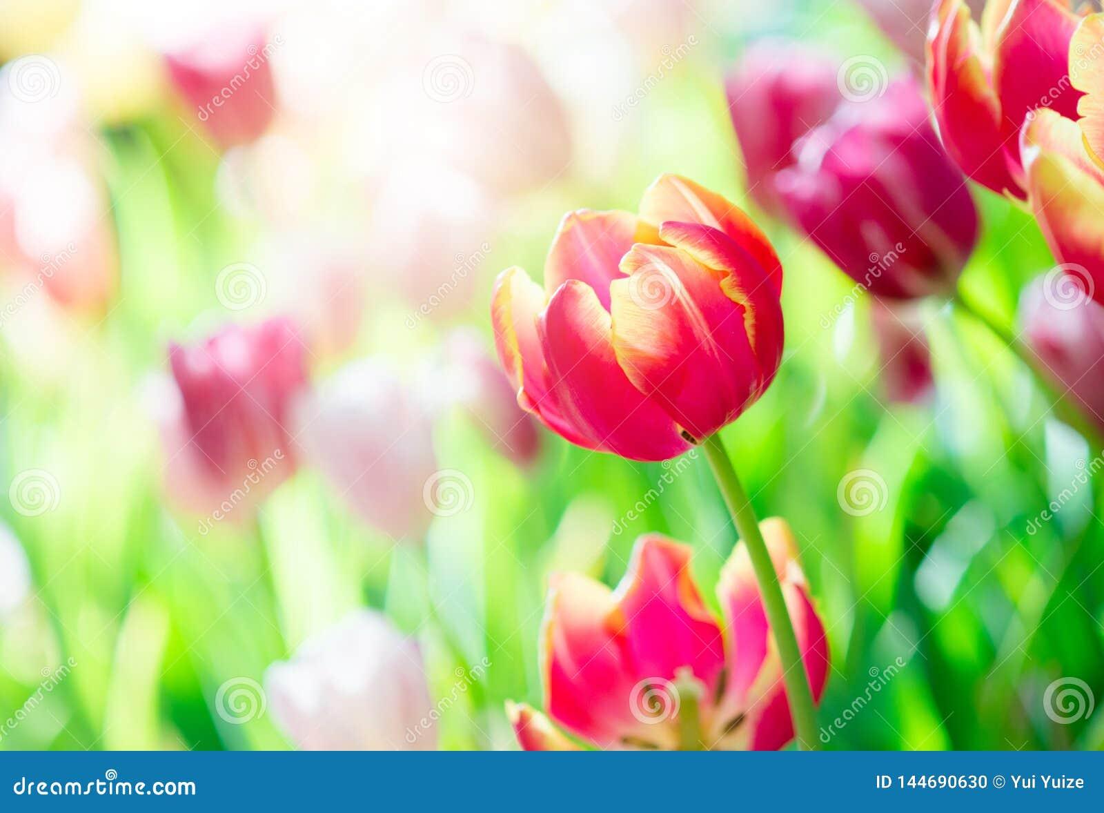 Tulipe au printemps avec le foyer mou