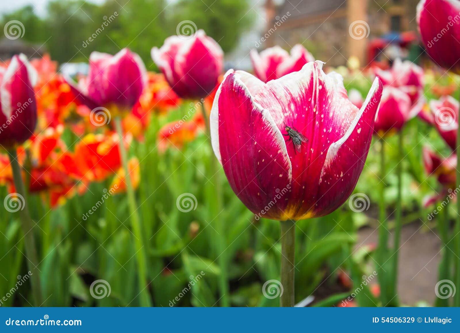 Tulipe avec l insecte