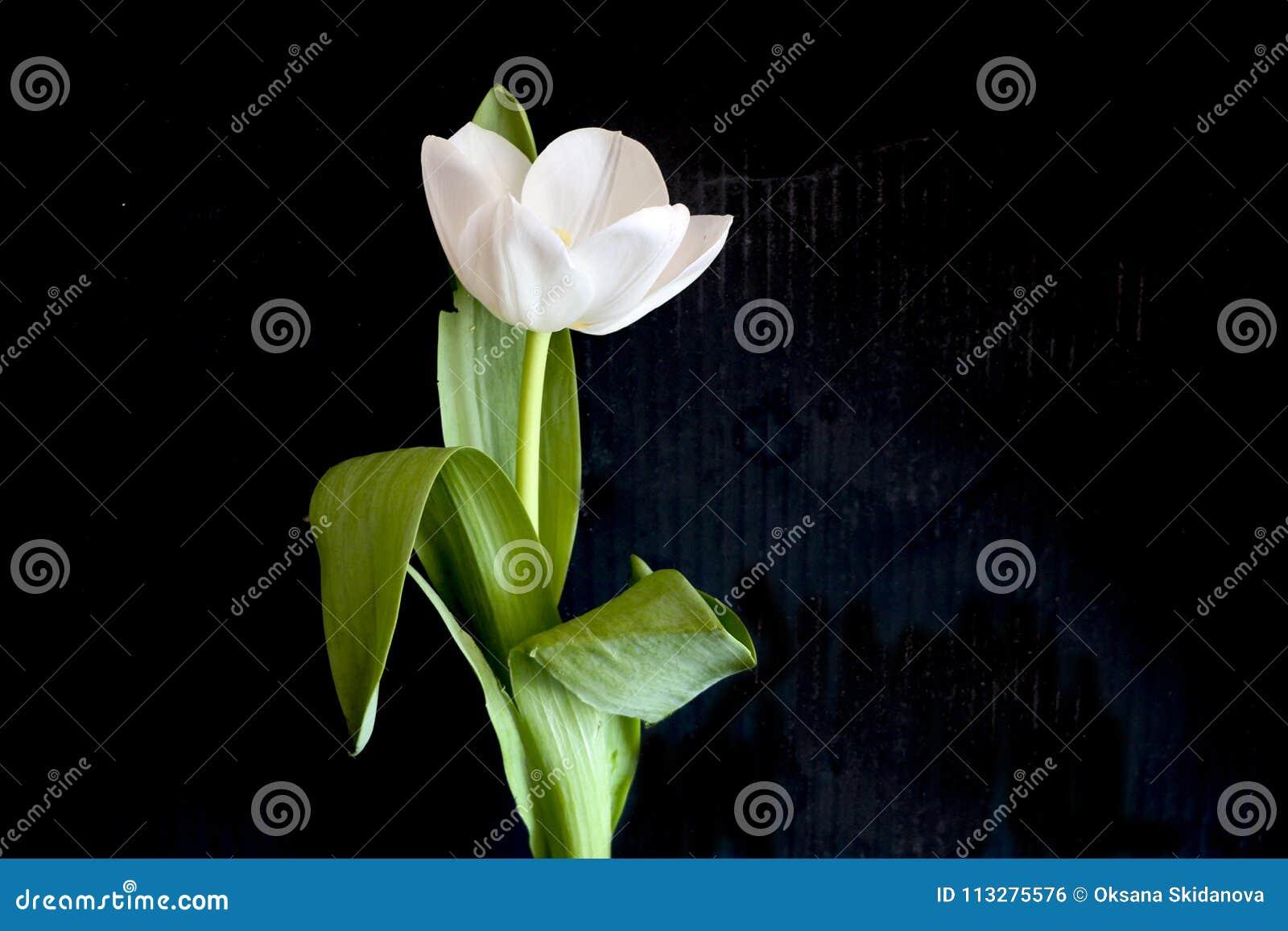 Tulipe Blanche Sur Un Fond Noir Une Fleur Sensible De Tulipe Avec