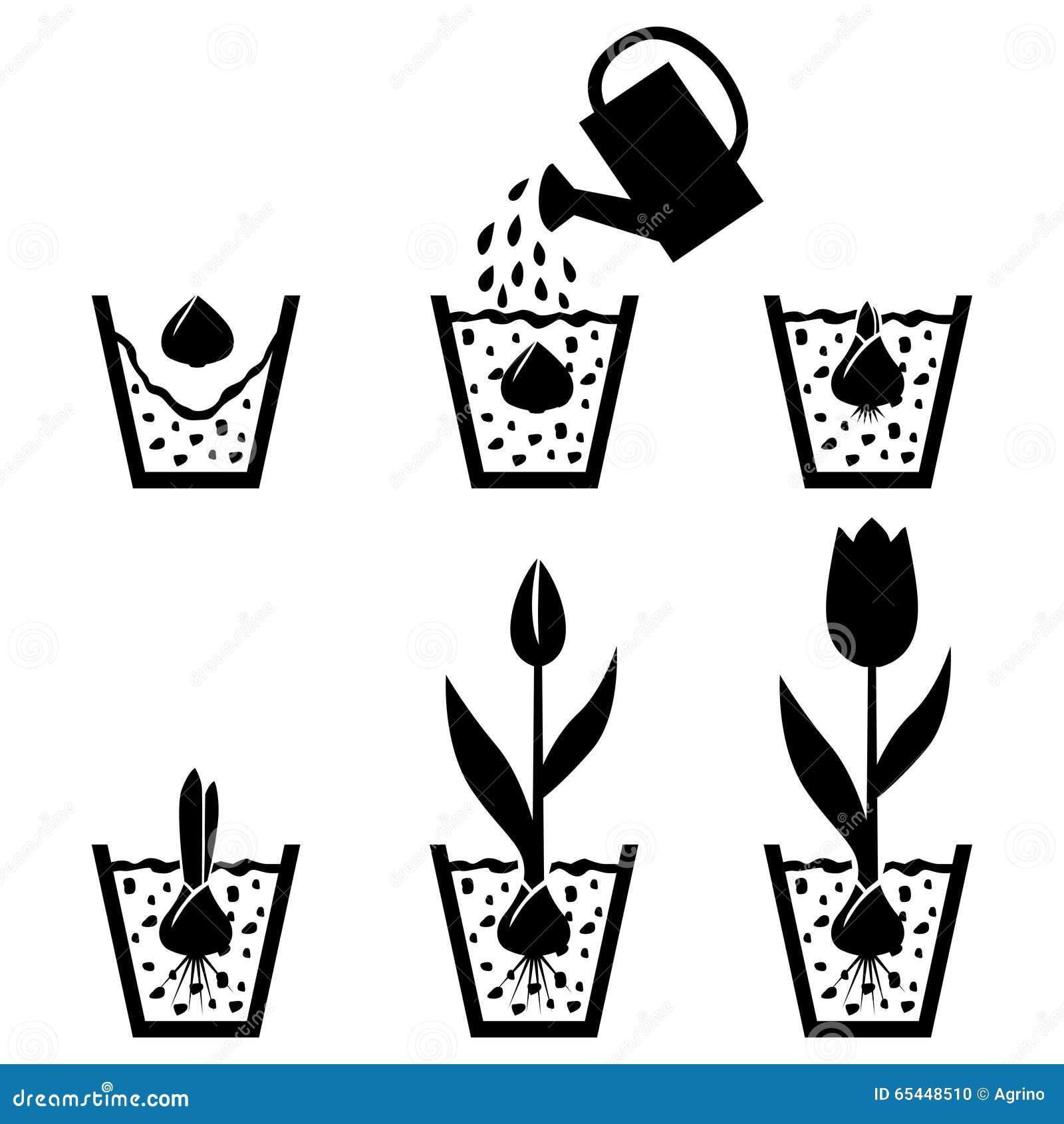 Tulipe De Cycle De Croissance Dans Le Pot Illustration De