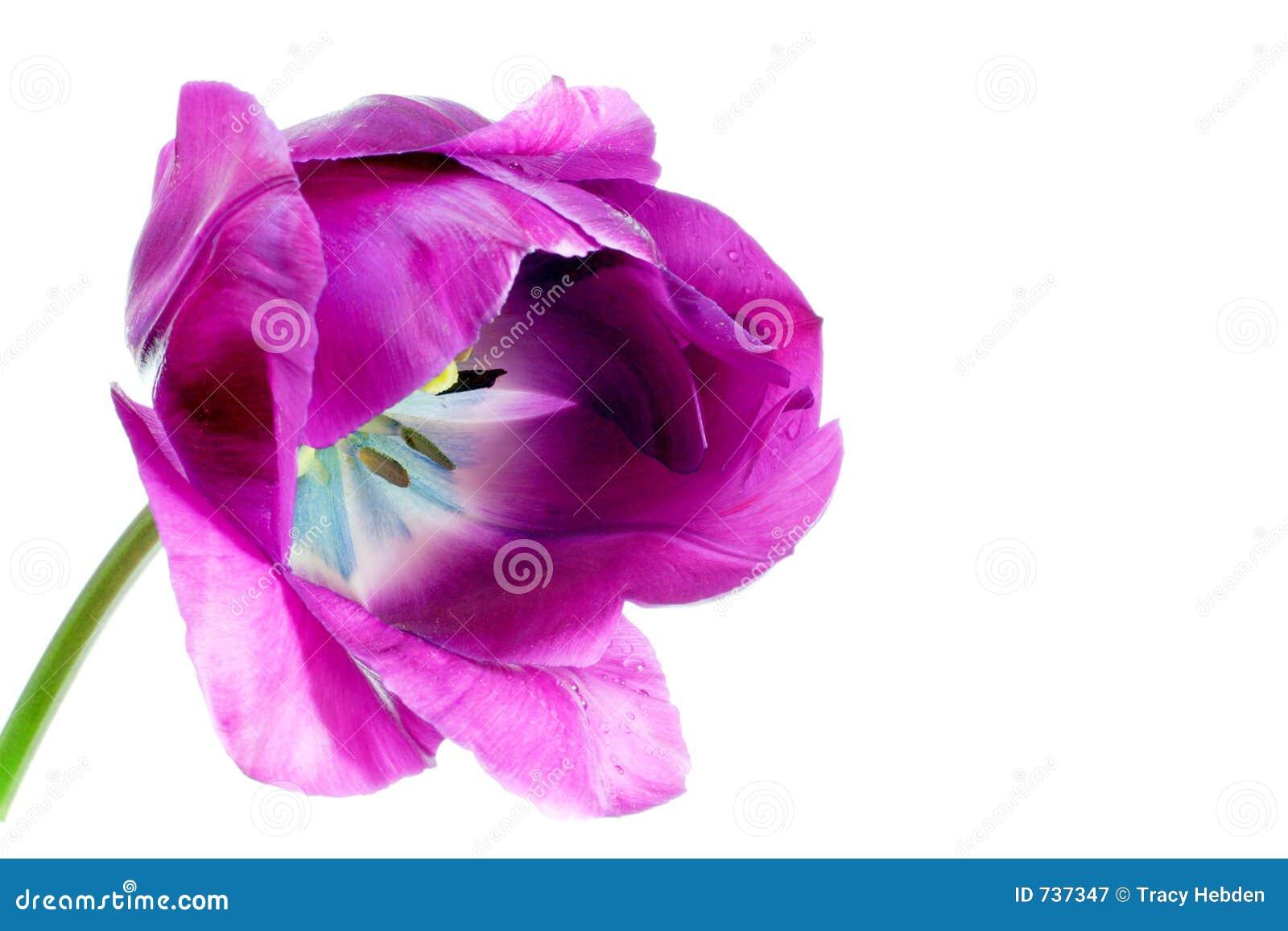 Tulipe de ressort
