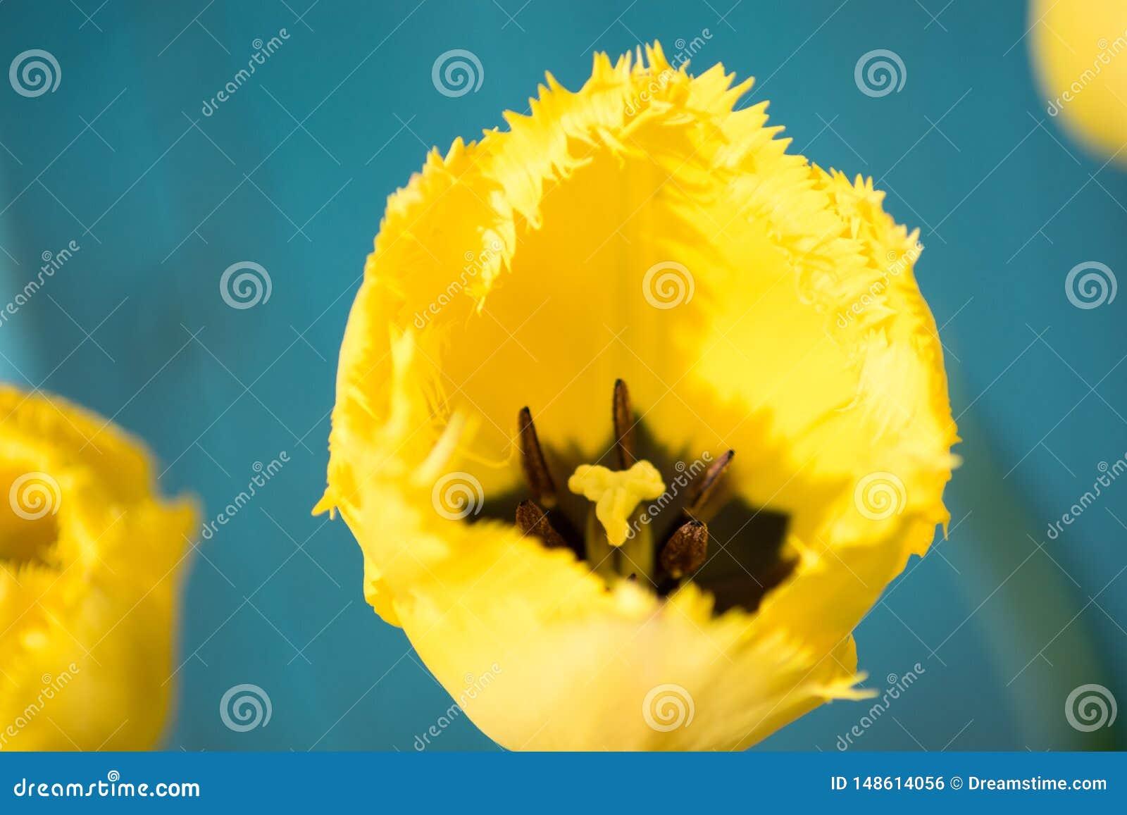 Tulipe jaune rugueuse, le printemps 2019