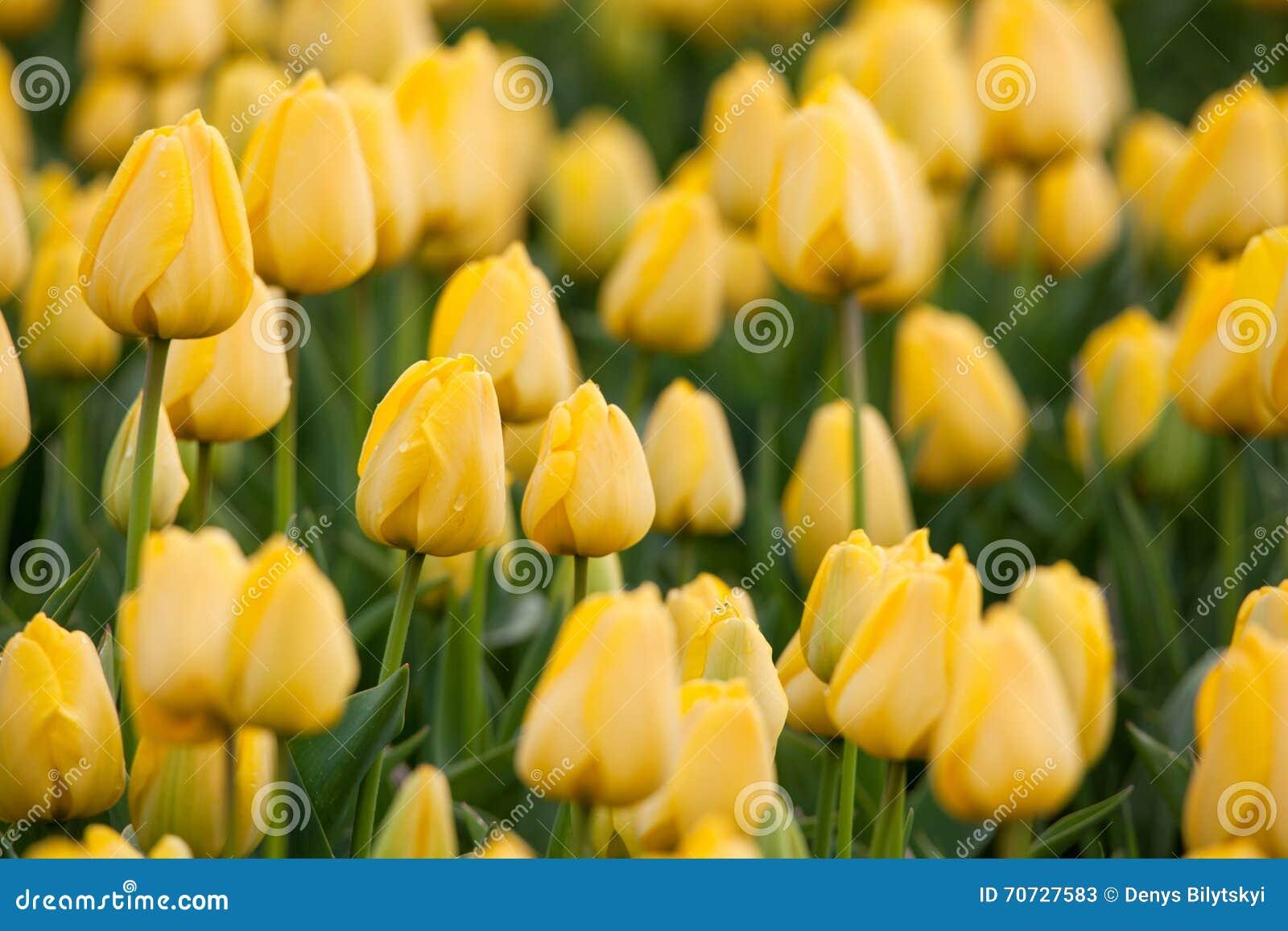 Tulipe Les belles tulipes jaunes fleurit au printemps le jardin, fond floral