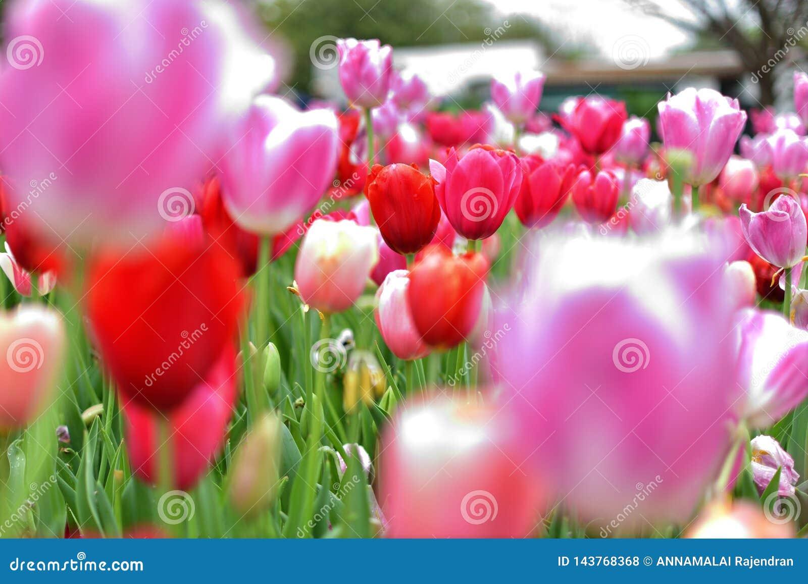 Tulipe rose avec le forground blured