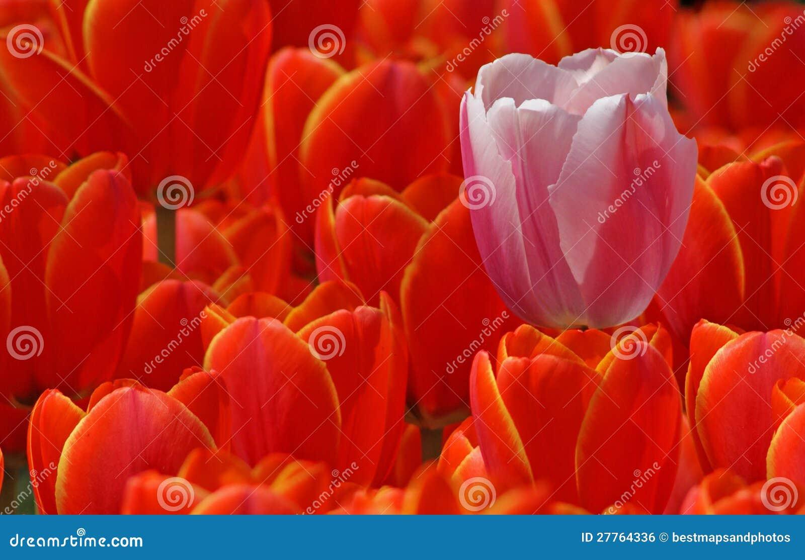 Tulipe rose et rouge ceux
