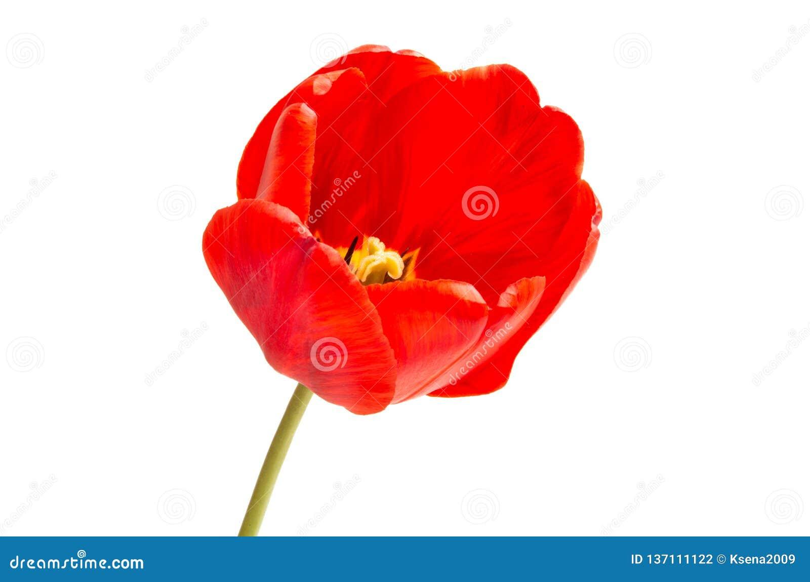 Tulipe rouge d isolement