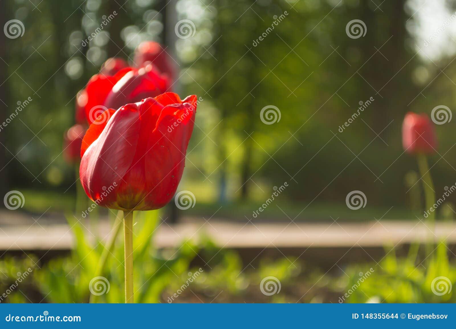 Tulipe rouge dans le jardin