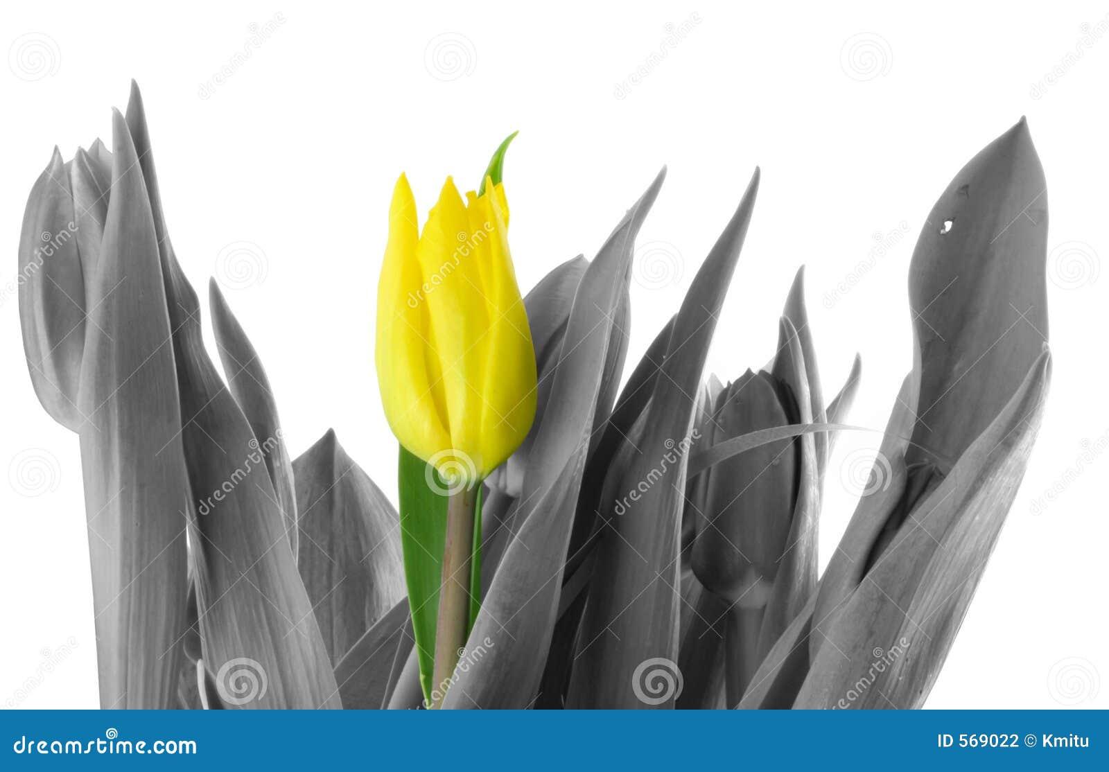 Tulipe seule