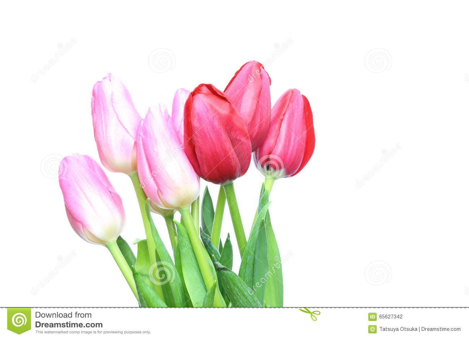 Tulipes à un arrière-plan blanc