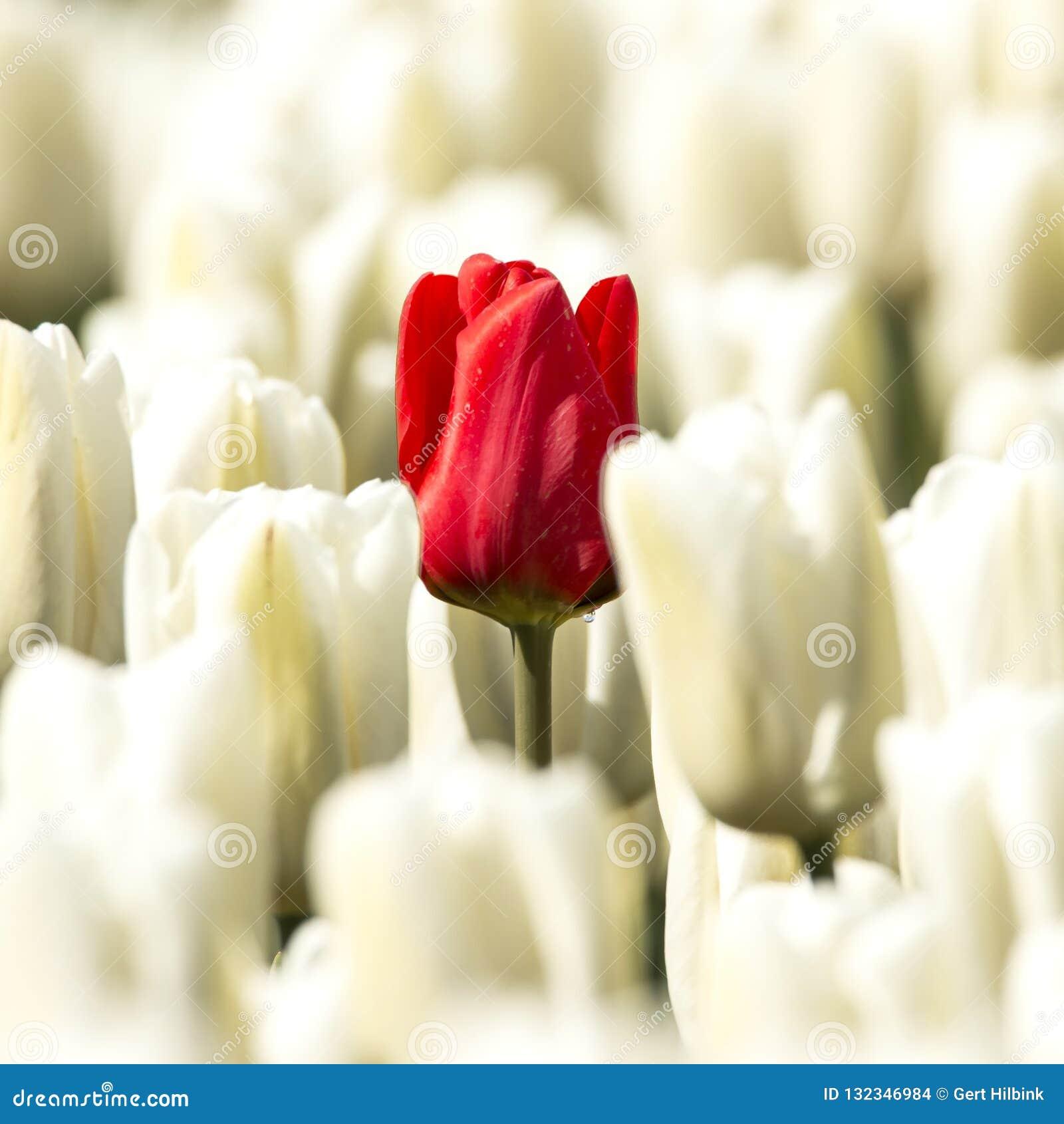 Tulipes blanches avec dans l une tulipe rouge moyenne