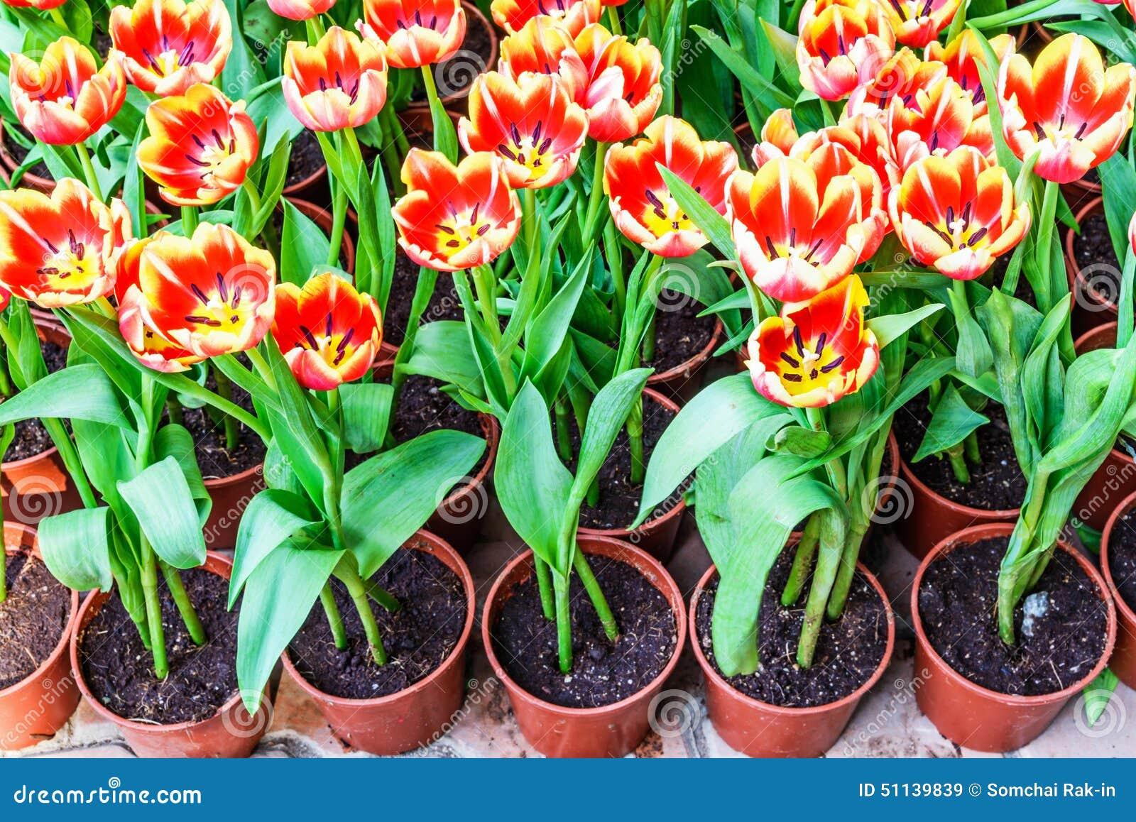 tulipes dans des pots pour la plantation photo stock image 51139839