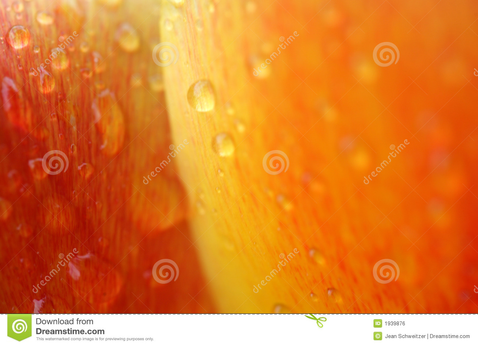 Tulipes de l eau